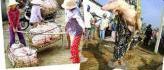 Vietnam : Elles sont payées pour peser des cochons