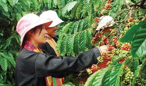 vietnam plus de 1000 plantations de caf certifi es rainforest alliance cap. Black Bedroom Furniture Sets. Home Design Ideas