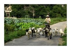 Nouvel an lunaire vietnamien, le 19 février 2015: Fête du Têt, année de la chèvre
