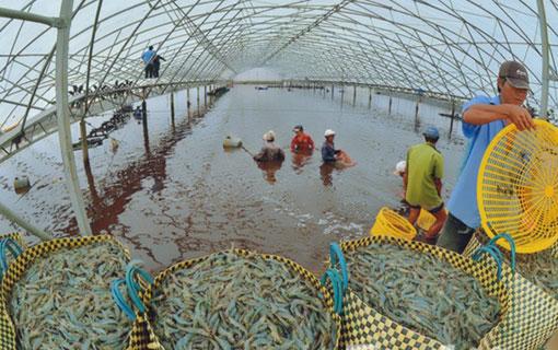 Vietnam : la crevette, trésor du Mékong