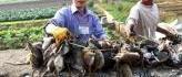 Au Vietnam, les rats, fléau des rizières, finissent en ragoût