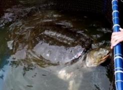 Vietnam: la tortue de Hanoï est rentrée