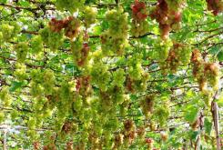 La viticulture à Ninh Thuân